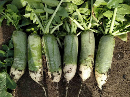 青蘿卜種植完成之后的管理