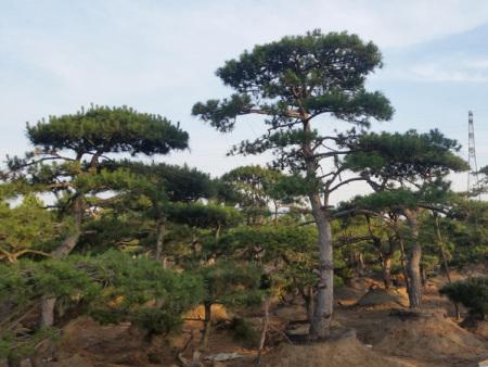 山东造型黑松的叶子下垂是什么原因