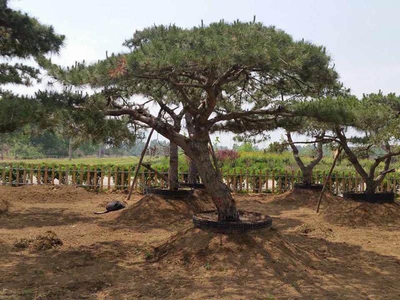 造型松种子催芽方式