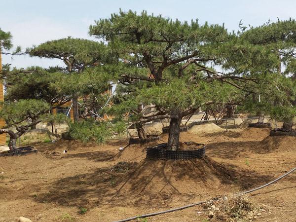 培育泰山松须提前做好季节性虫害的防治工作