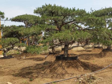 做好剪枝和冬灌的工作可以促进造型油松的茁壮生长