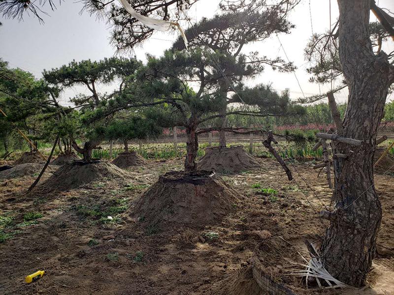 培育泰山松可依据其具有的特点,选择关键的技术