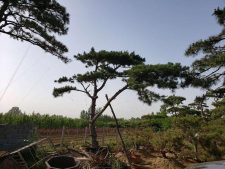 如何处理泰山松的芽,才能让此类苗木得以茁壮生长