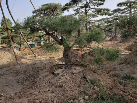 景观松适宜种植在气候较为温暖湿润的地方