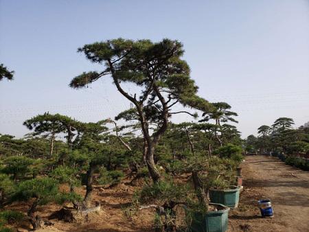 山东造型黑松一般采取条播的方式进行播种