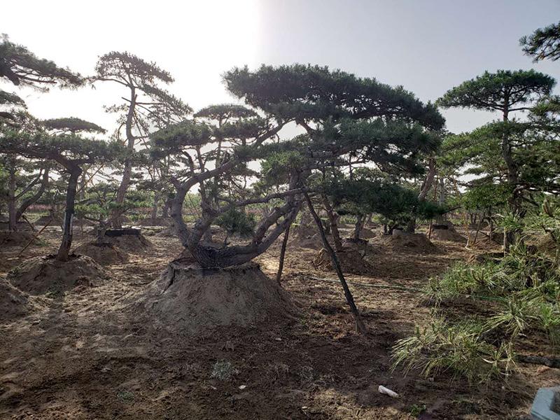 提高山东大型造型松的养分利用率,有益于苗木生长