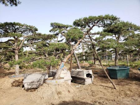 山东泰山松在春季或者秋季较为适宜种植