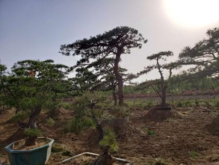 造型松基地会采用合理化的方式对种子进行处理