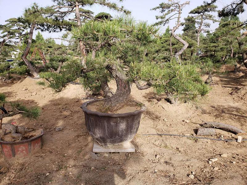 黑松盆景应当怎样用肥或施肥