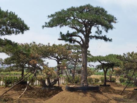 泰山迎客松要选择背风向阳的地方种植