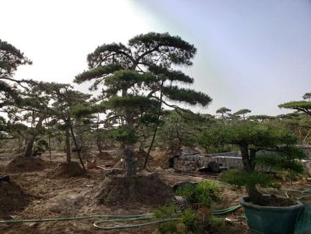 造型松是什么松?悉心塑造之后的一类松树!