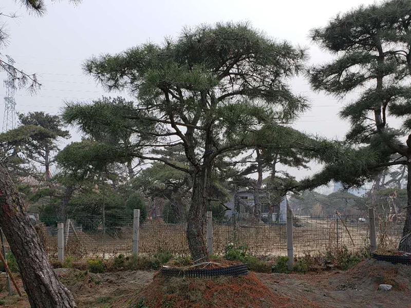 栽种山东造型黑松需要留心的事项都有什么