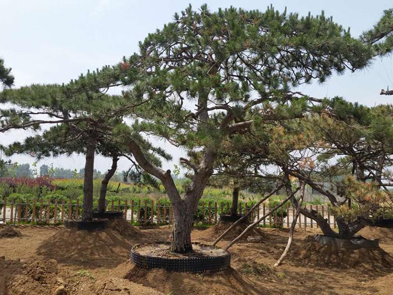 泰山松基地浅谈苗木培育的注意事项