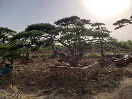 冬季之后影响造型松树生长的各项因素