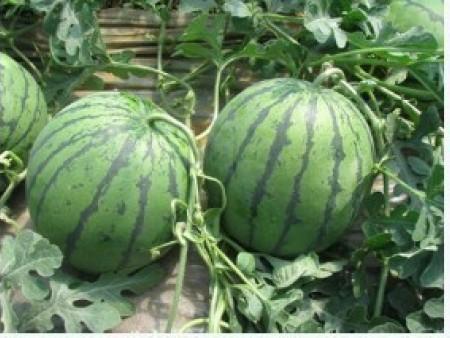 西瓜提苗肥料?不同生长时期如何施肥