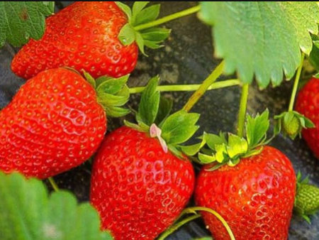 草莓苗应该施什么肥料,前期你做对了吗