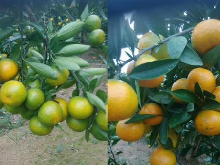 柑橘用哪些水溶肥,如何管理能快速壮树促梢