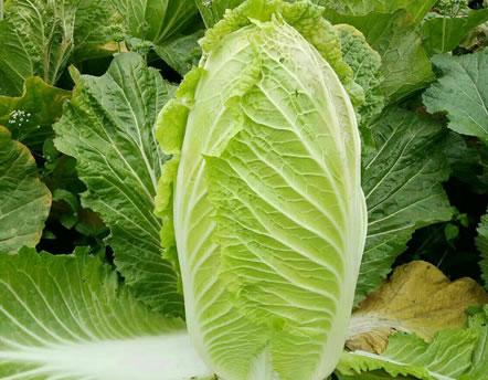 蔬菜使用什么冲施肥,沃尔特给你做指导
