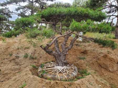平顶松种植时出现问题应该怎么办