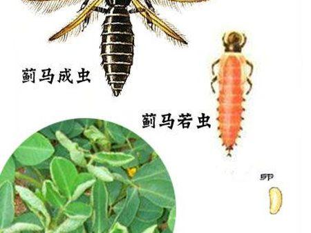 """每年的6-7月份,花生種植戶要提防""""薊馬""""突襲"""