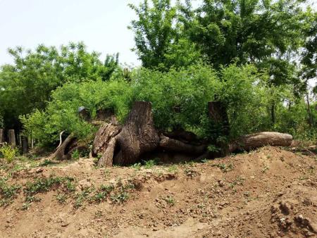 国槐盆景怎么养护?