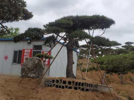 造型松树是一种被驯服了几十年的树