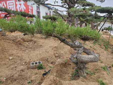 每种树木都有着自己的优缺点,造型黑松也不例外