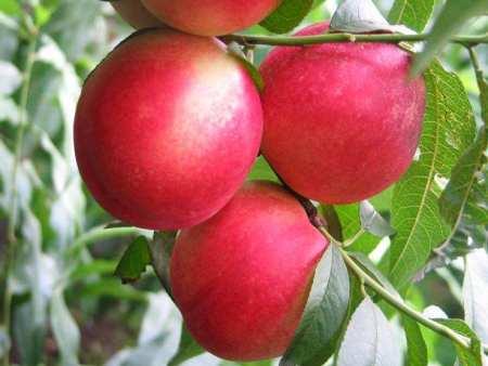 红珍珠油桃苗