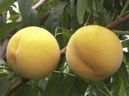 錦春黃桃苗