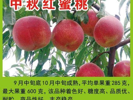 中秋红蜜桃苗