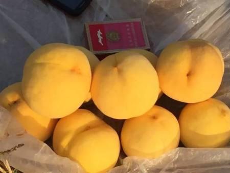 黃金蜜0號桃苗