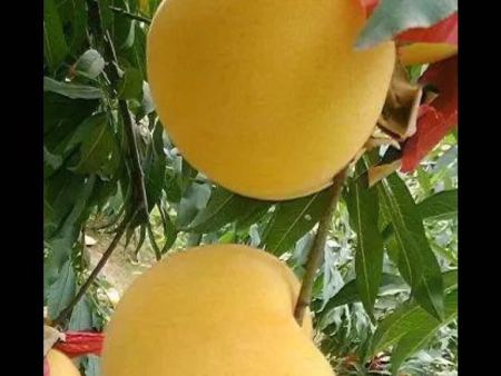 金黃金桃苗