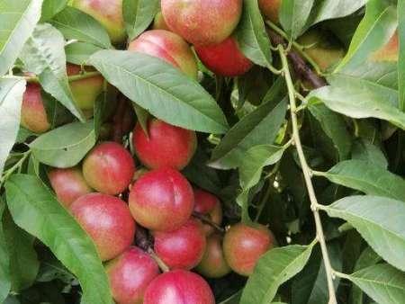 紅珍珠油桃