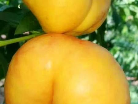 黄肉油蟠桃苗