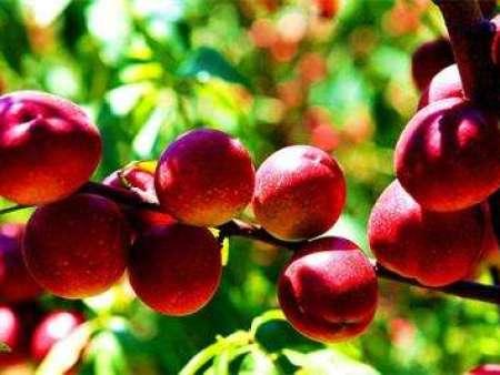 珍珠枣油桃苗