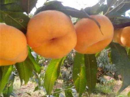 桃樹苗須知