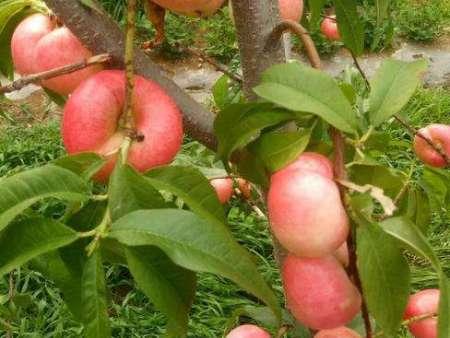 如何對桃樹苗進行夏剪呢?