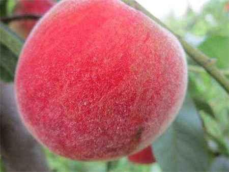中秋红蜜桃