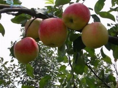 华硕苹果苗