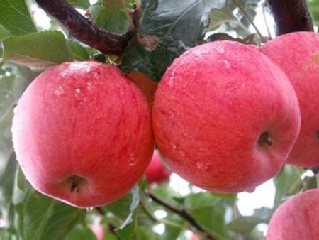 红富士苹果苗基地