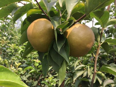 柱状梨树苗
