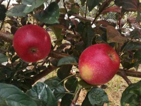 烟富8号苹果苗基地