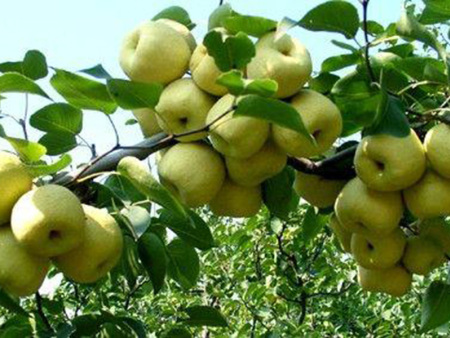 黄金梨树苗