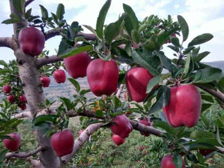 花牛苹果苗
