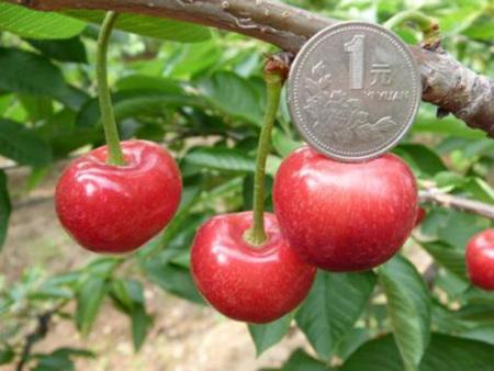 吉塞拉矮化樱桃苗