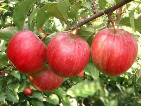 山东红富士苹果苗