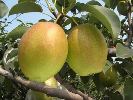 红香酥梨树苗