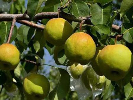 玉露香梨树苗