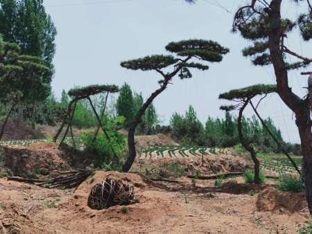 造型油松防护林带的设置