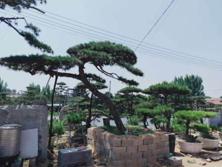 在造型松的苗圃地,要控制病虫害,注意苗木生长状况